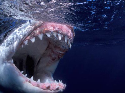 Great white shark with its mouth open.
