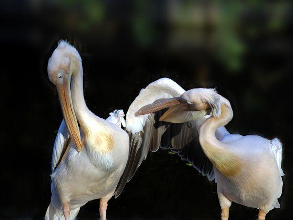 Pelicans grooming thumbnail