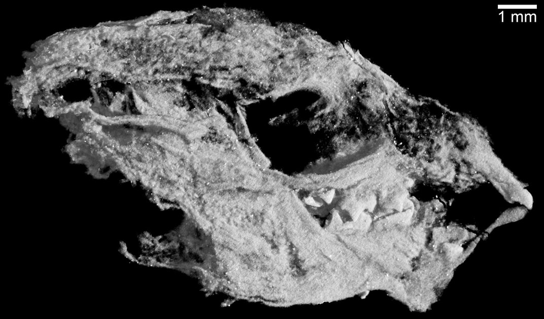 Weasel-Like Fossils Reveal Evolutionary Clues of the First Mammals