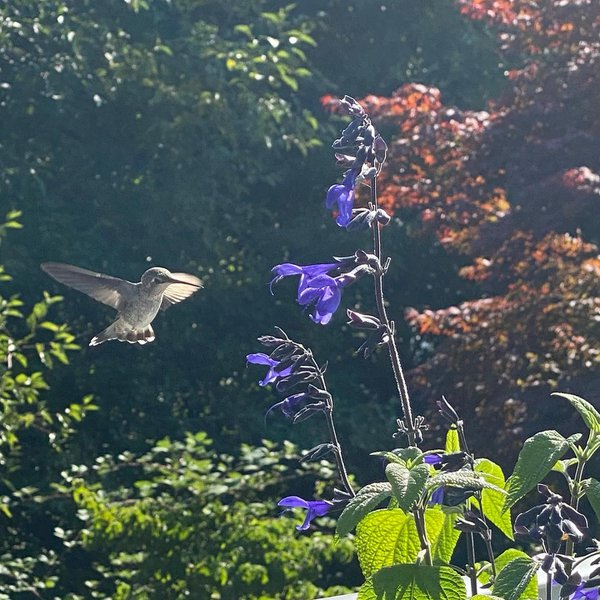 Hummingbird in backyard thumbnail