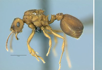Photos of two queen ants (left, the host species Mycocepurus goeldii and right, the parasitic species Mycocepurus castrator) shown side-by-side represent what may be an example of sympatric speciation—when a new species develops in the same geographic area with its sister species, but reproduces on its own.
