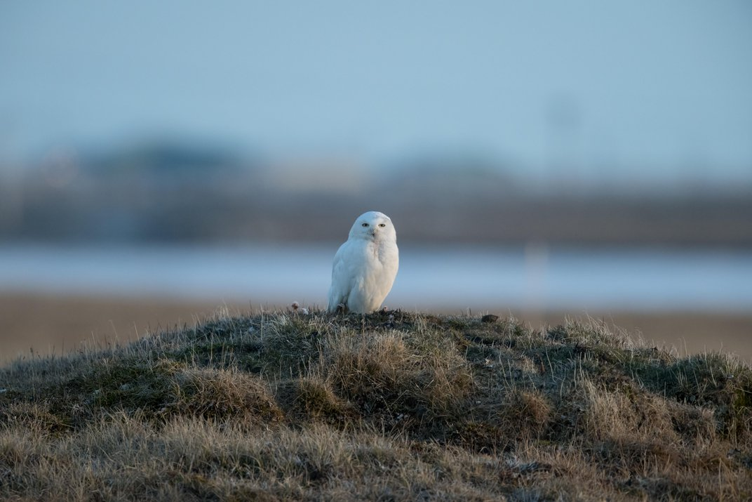 Why Is the Snowy Owl Disappearing?