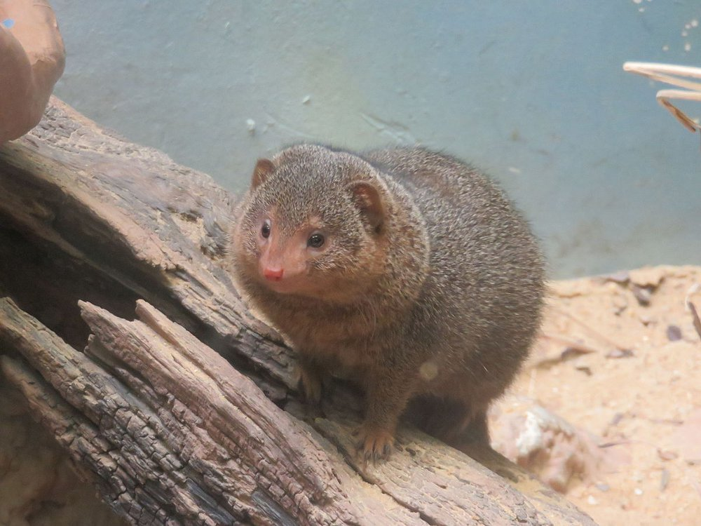 Dwarf mongoose at the National Zoo