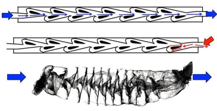 Sharks' Intestines Spiral Like a Valve Invented by Nikola Tesla