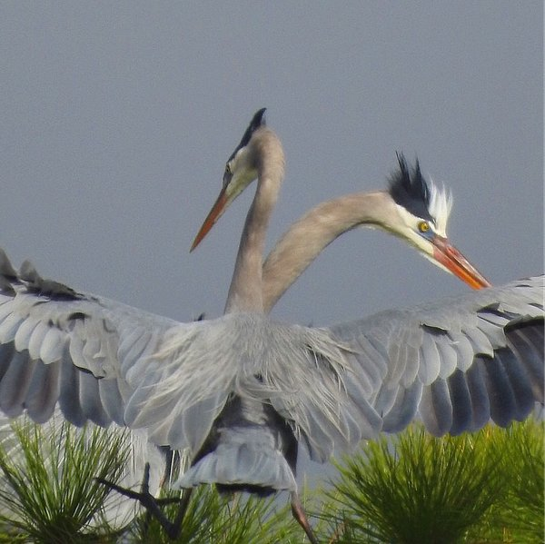 mating great blue herons thumbnail