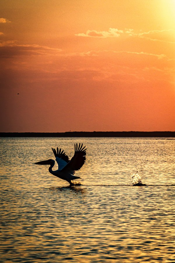 Pelican taking off in the sunset on a Danube Delta lake thumbnail