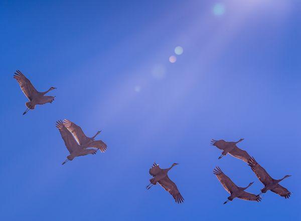Sunlit Soaring - Sandhill cranes in flight thumbnail