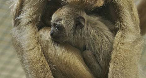 The National Zoo's newest addition, a baby howler monkey.