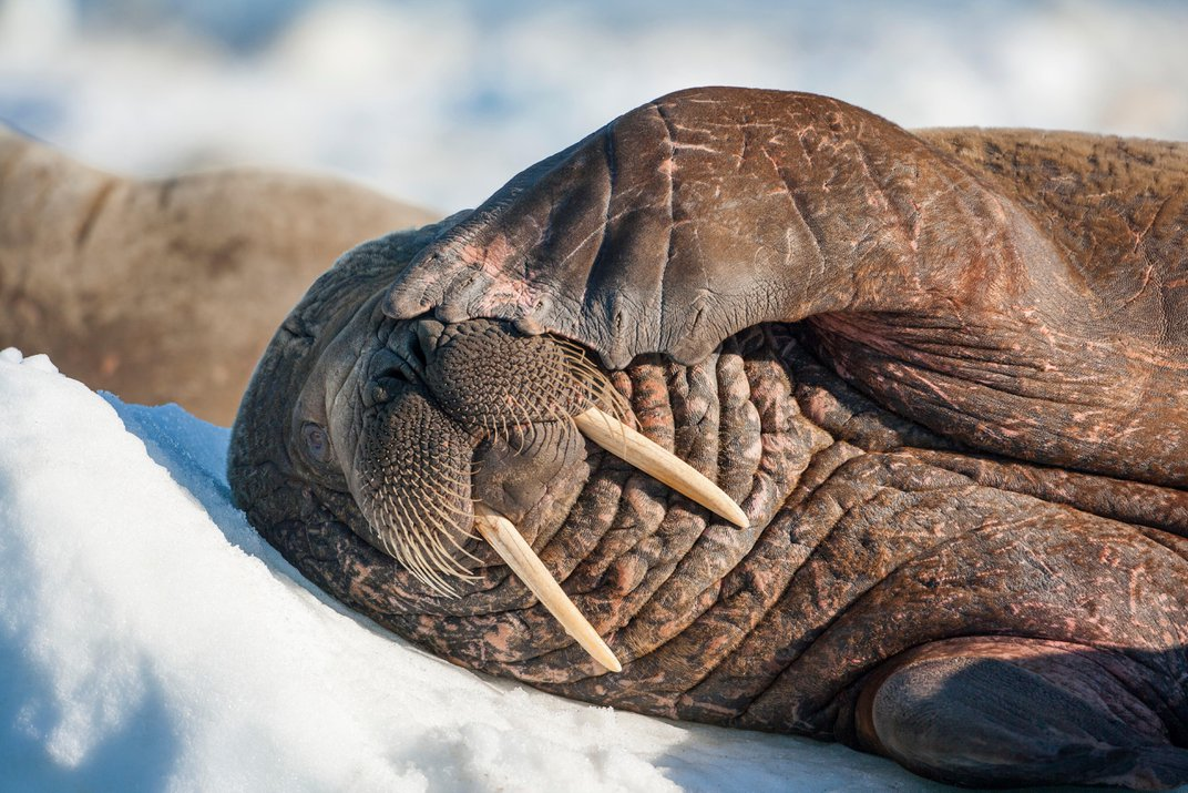 Inuit Wisdom and Polar Science Are Teaming Up to Save the Walrus