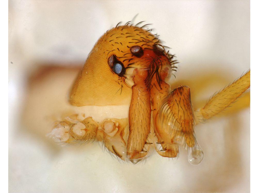 trap-jaw spider