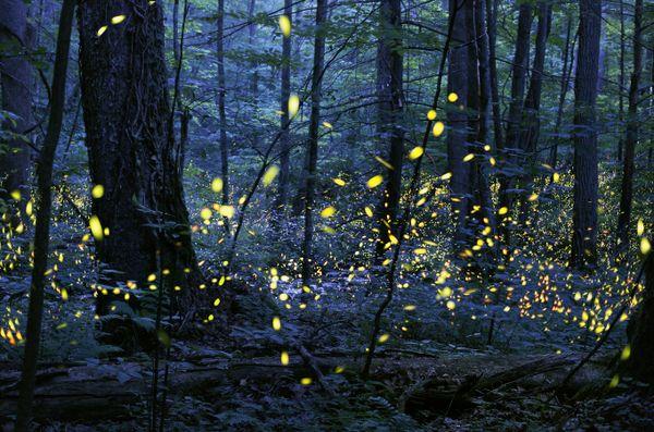 Synchronous Fireflies thumbnail