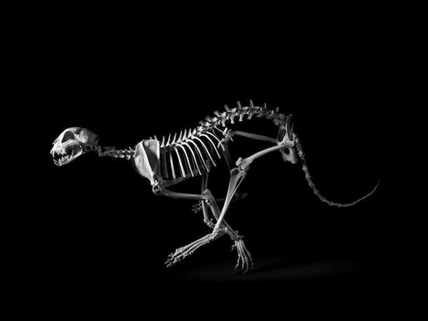 Beautiful Anatomical Skeletons, Posed and Photographed As Sculptures