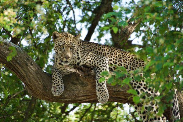 Leopard Awake thumbnail
