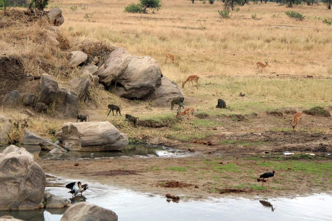 Impalas Hang Out With Baboons for Sausage Fruits and Safety