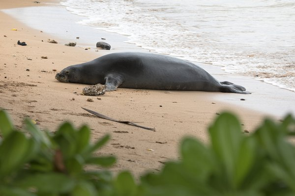 Hawaiian Monk Seal thumbnail