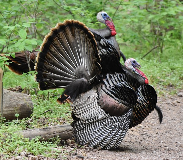 Turkey Trot thumbnail