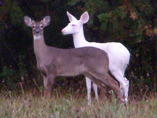 Albino deer and her twin brother. thumbnail