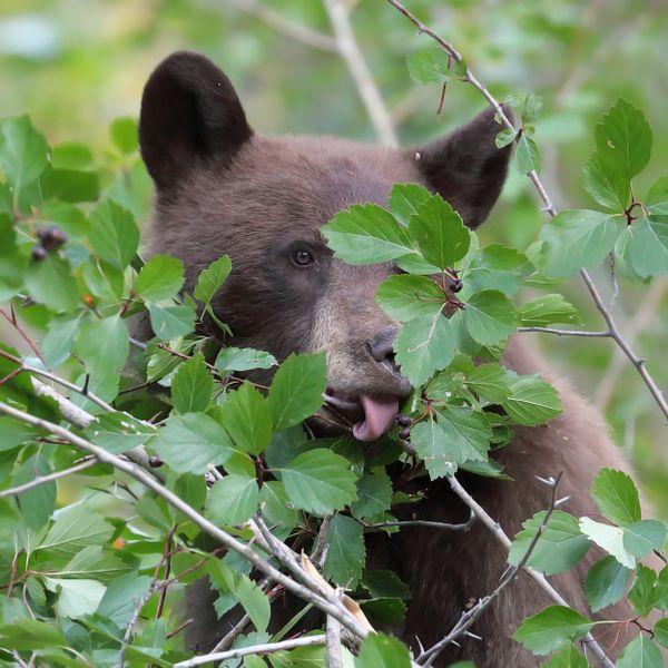 Black Bear gorging on fall berries in Wyoming. thumbnail