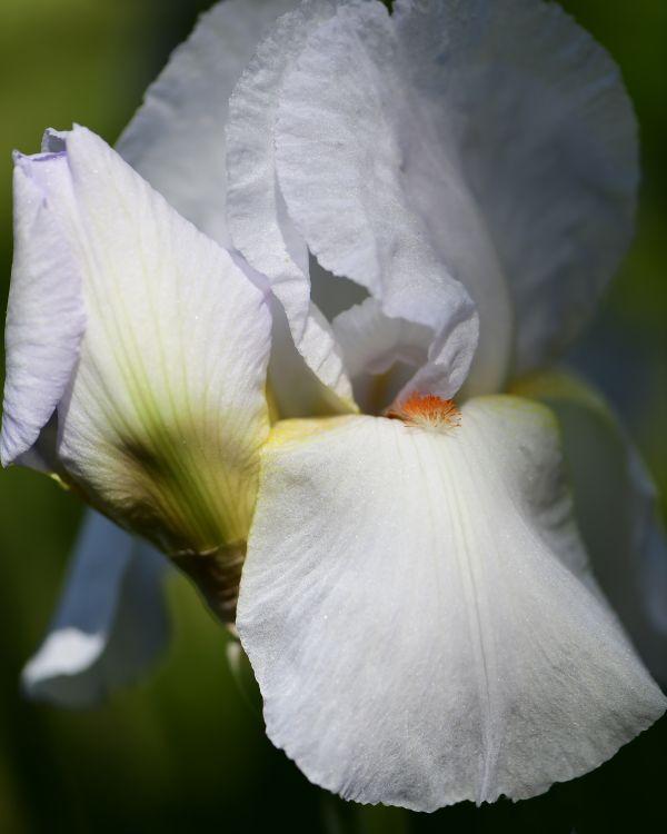 Pale Blue Bearded Iris thumbnail