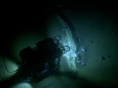 The team discovered a whale fall while exploring Davidson Seamount off central California's coast.