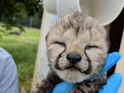 """""""It is especially exciting to see Sukiri bonding with and successfully raising these cubs,"""" says the Zoo's cheetah biologist Adrienne Crosier."""