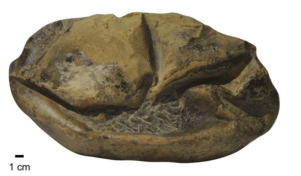 First Soft-Shelled Dinosaur Egg Fossils Found