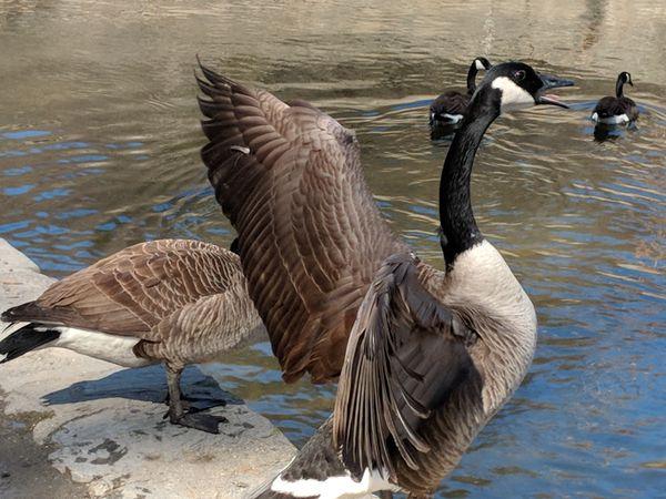 Geese thumbnail