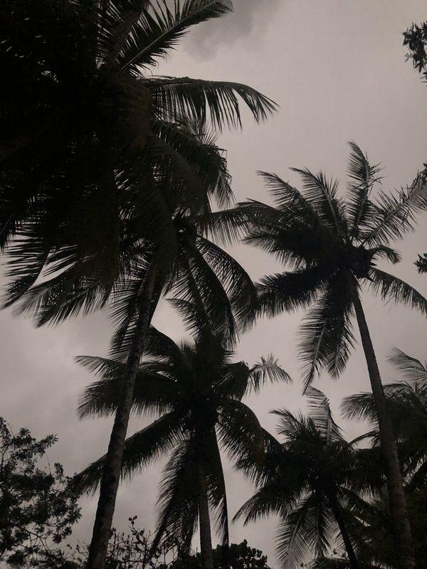 Palm tree silhouette  thumbnail