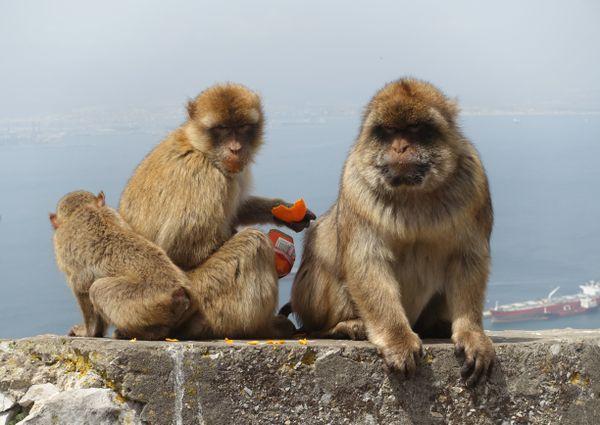 Monkey family at the Rock of Gibraltar thumbnail