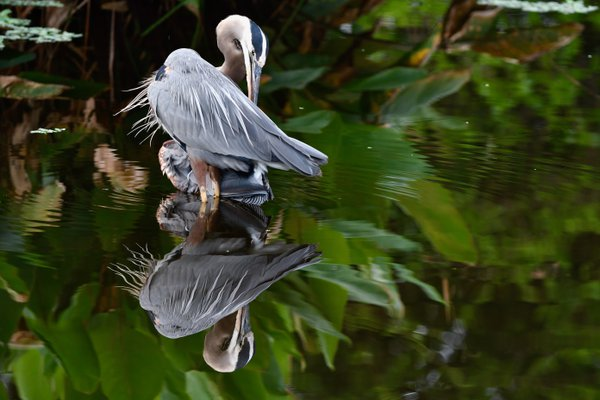 Reflections of a Great Blue Heron thumbnail