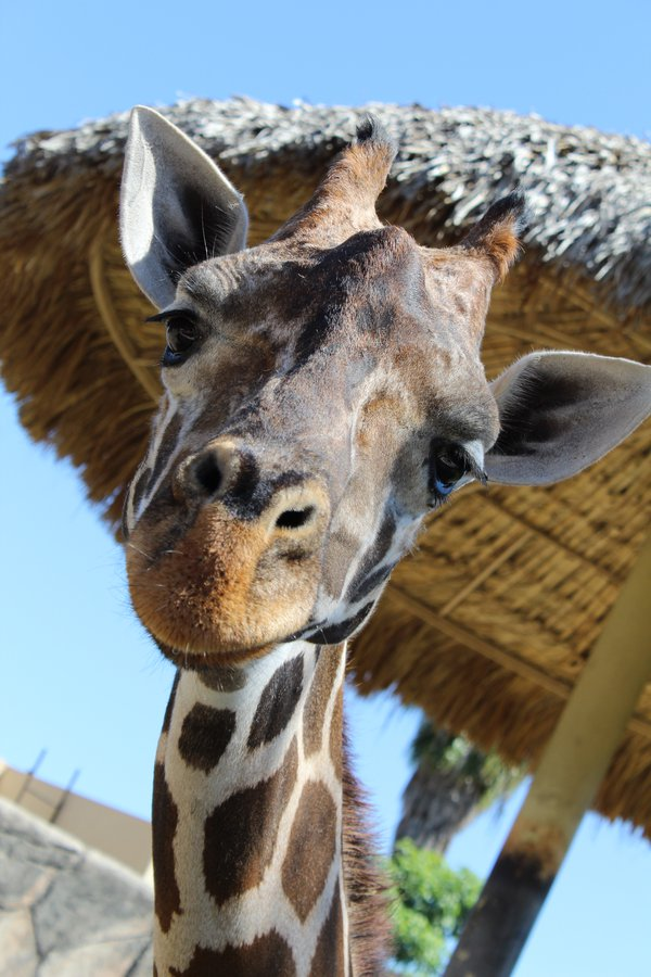 A giraffe with curiosity thumbnail