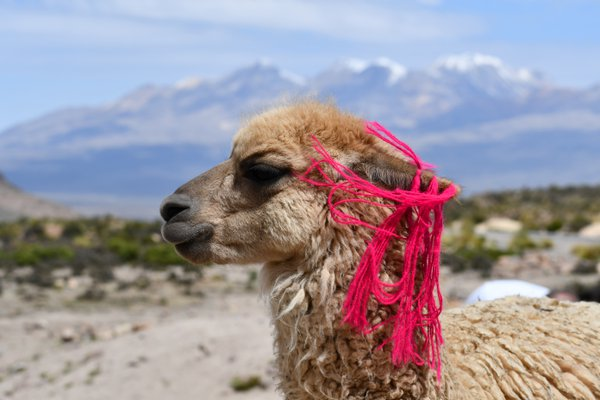 Alpaca with style thumbnail