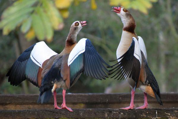 Egyptian Geese Dancing thumbnail