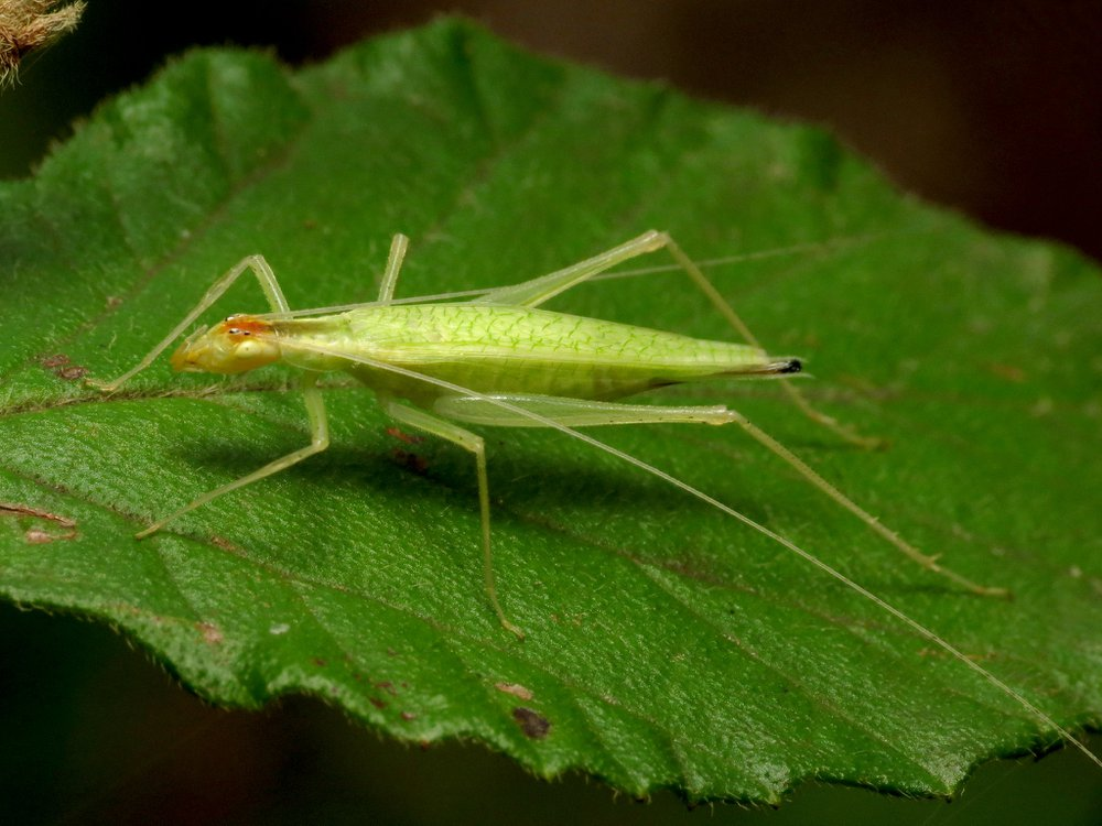 A close-up photo of a bright yellow-green cricket sitting atop a large green leaf.