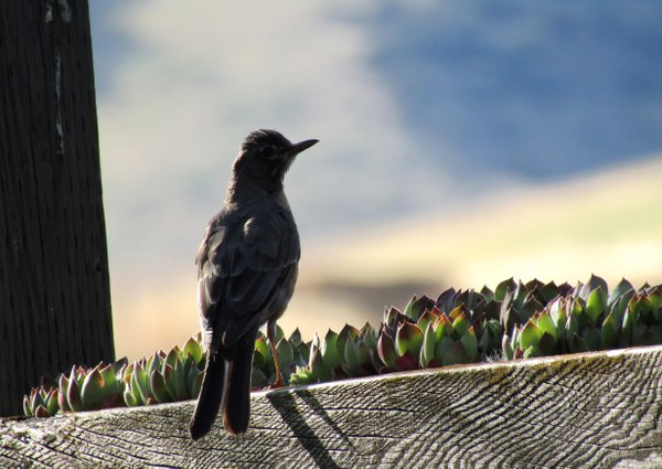 A Robin perched in a box of succulents at the Hotel Balch in Dufur, Oregon. thumbnail