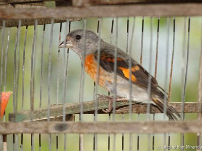 Red siskins, (above: a trapped female rescued at a local market by wildlife authorities) listed as endangered by the International Union for Conservation of Nature, face threats from habitat loss, and poaching for the pet trade.