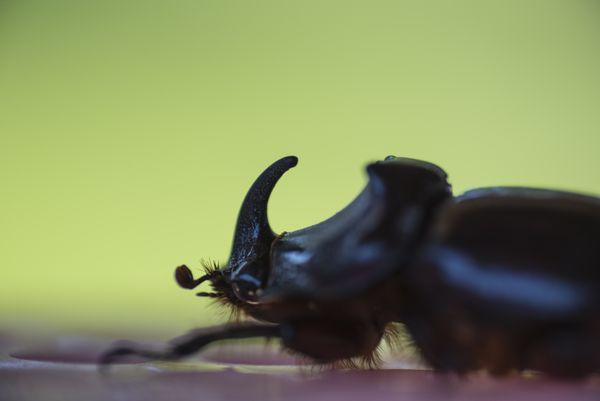 Rhino beetle thumbnail