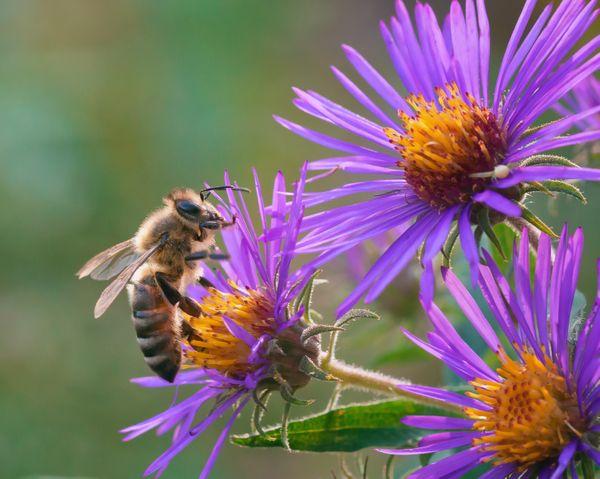 Honey bee feeding on purple aster flowers thumbnail
