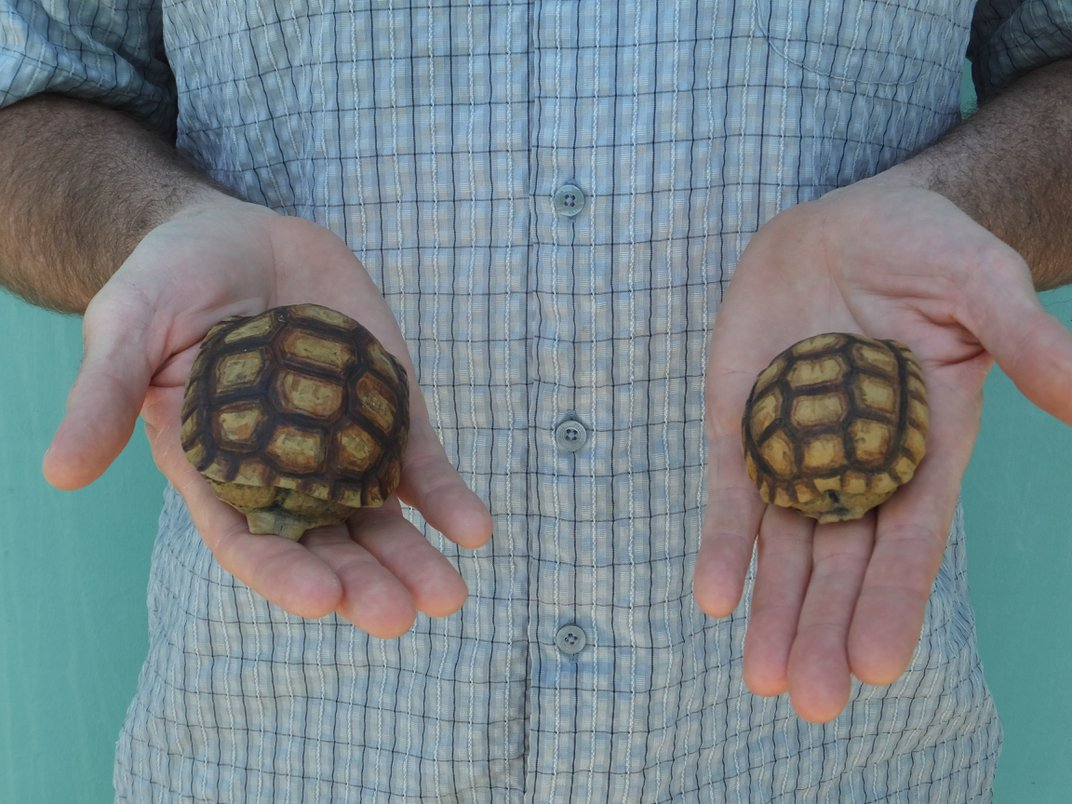 To Save Desert Tortoises, Make Conservation a Real-Life Video Game