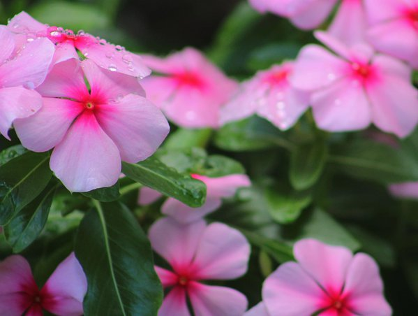 Pink flowers thumbnail
