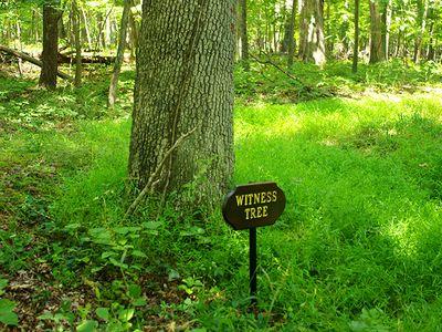 A witness tree on Stuart's Hill loop trail in Manassas National Battlefield Park