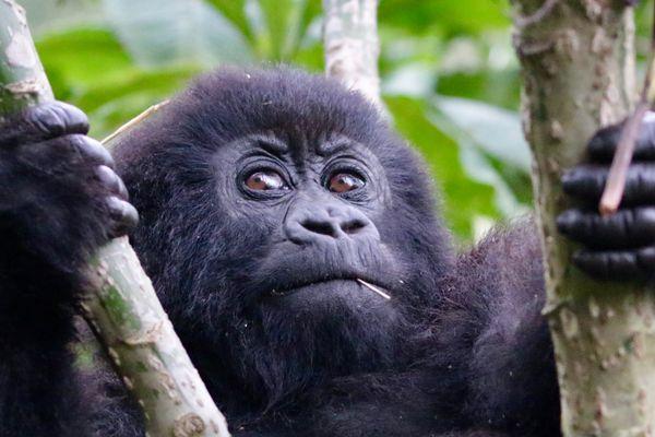 Gorilla at play  thumbnail