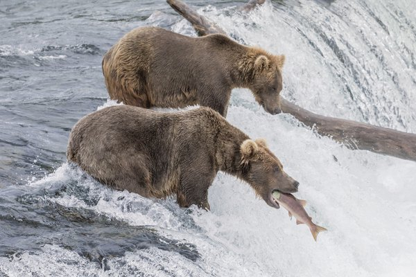 The Catch 2 - Brown Bear vs. Salmon thumbnail