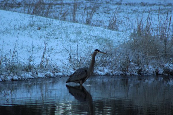 A Great Grey Heron in a Freezing Lake thumbnail