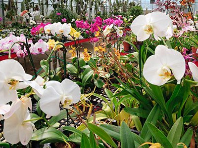 The Smithsonian's renowned Orchid Collection numbers more than eight thousand plants.