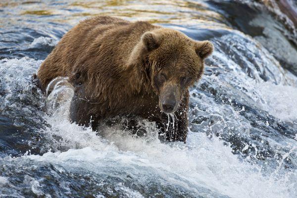 Brown Bear thumbnail