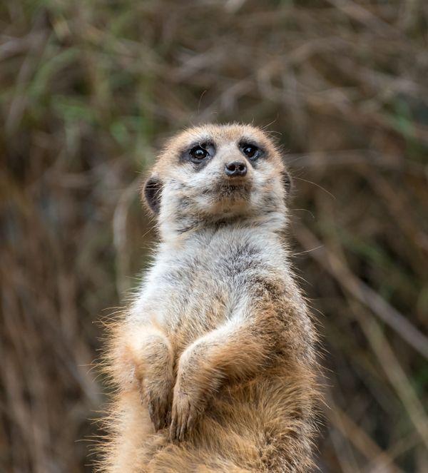 Meerkat at Houston Zoo thumbnail