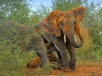 An African elephant gives itself a dust bath by blasting dirt from its trunk.