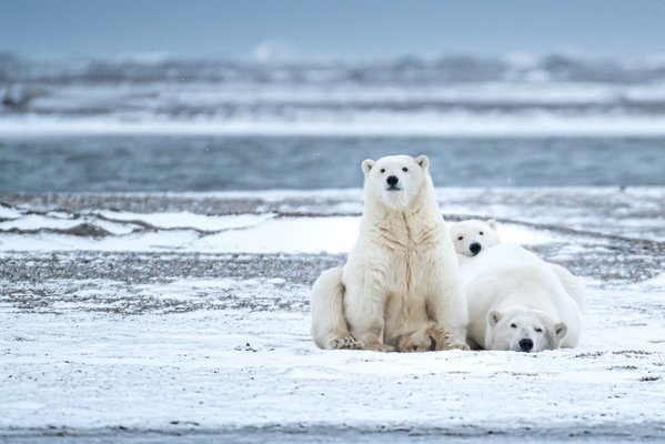 After blizzard in the arctic, we came out to find this family of bears piled together and watching us intently.