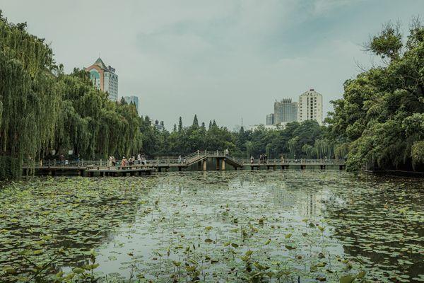 Green Lotus in the lake thumbnail